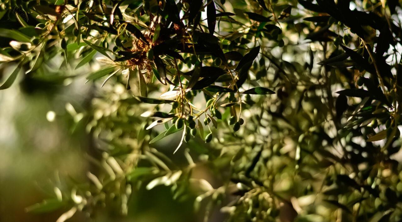 Settore olivicolo